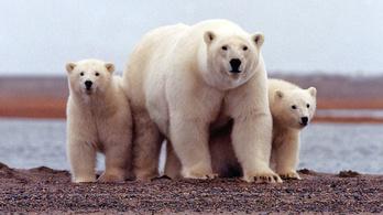 Feloldják a jegesmedve-invázió miatti szükségállapotot