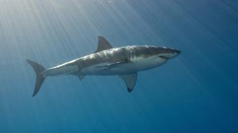 Már a fehér cápa sikerének titkát is megfejtették