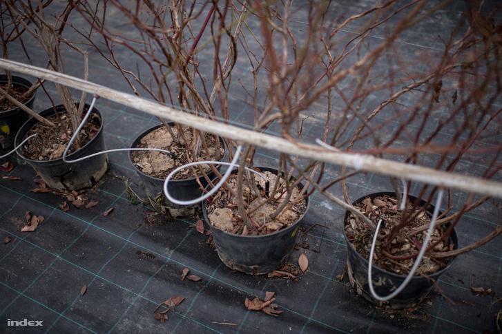 Az áfonyákat hidropóniás módszerrel termesztik, számítógép vezérli az egész folyamatot