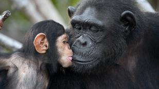 Újabb hasonlóság a csimpánz és az ember között