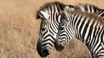 A zebra csíkjai elriasztják a legyeket