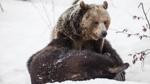 Miért alszanak téli álmot a medvék?