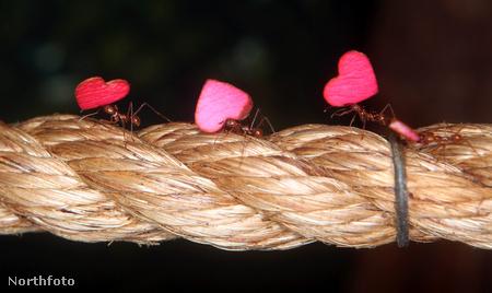 Rózsaszín szíveket cipelnek a bristoli állatkert levélvágó hangyái