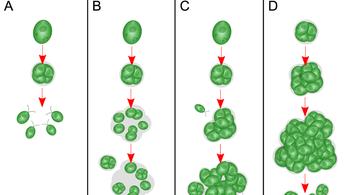 Élőben figyelték meg tudósok, ahogy egy egysejtű alga többsejtűvé fejlődik