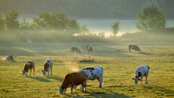 Annyira éhesek voltak a marhái, hogy áttörték a villanypásztort