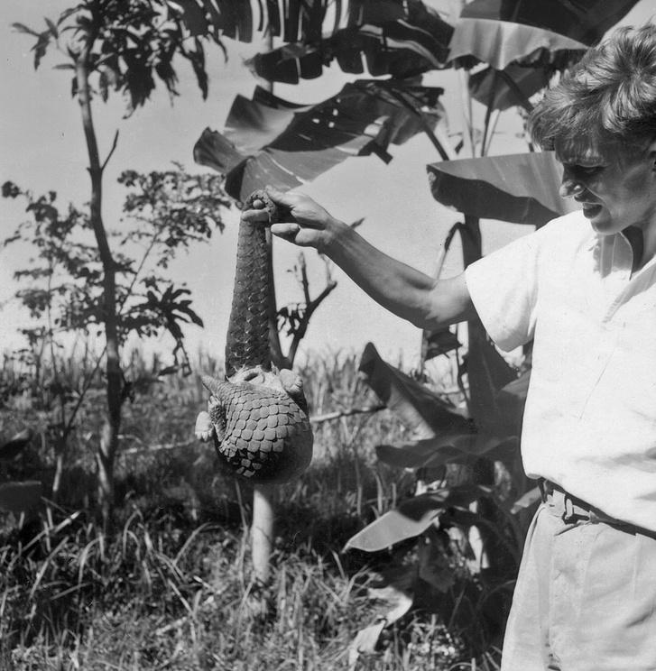 Egy tobzoskával, amely hosszú fogófarkával kapaszkodva csimpaszkodik Attenborough ujján