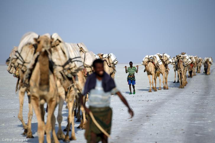 Tevékkel szállítják a sót a Danakil-mélyföldön