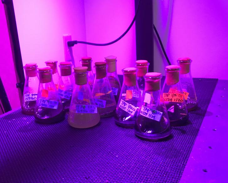 Algatenyészet Naohiro Kato laboratóriumában a luisianai egyetemen.