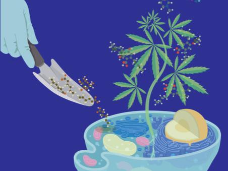 Kutatók cukorral táplálták a genetikailag módosított élesztőt, és THC, CBD és más kannabinoidokat termelt