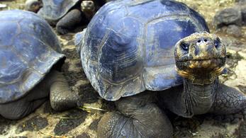 Végre szabadok az óriásteknősök a Galápagoson