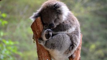 Drónok segítenek megtalálni a koalákat