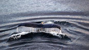 Kihalás szélén állt, de most éppen a túlnépesedés gond a hosszúszárnyú bálnák világában