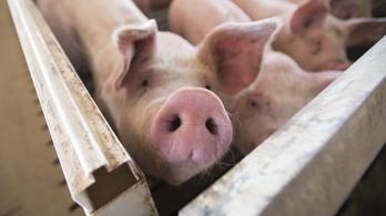 Magyar fejlesztésű eljárás csökkentheti a sertésfertőzések terjedését
