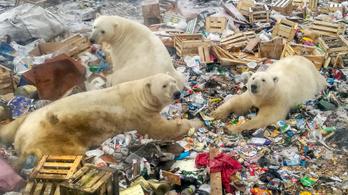Eltűnhetnek Oroszországból a jegesmedvék