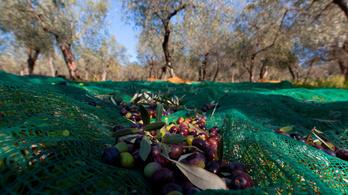 Egész Európában hiánycikk lehet az olívaolaj