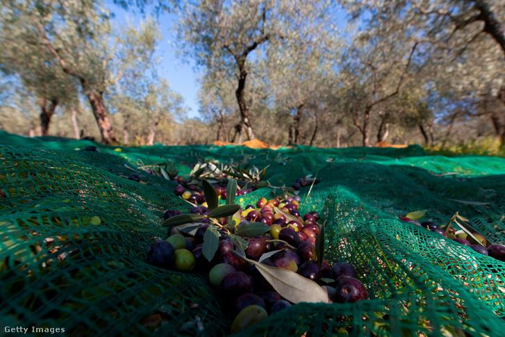 Olívát szüretelnek Umbriában, Olaszországban