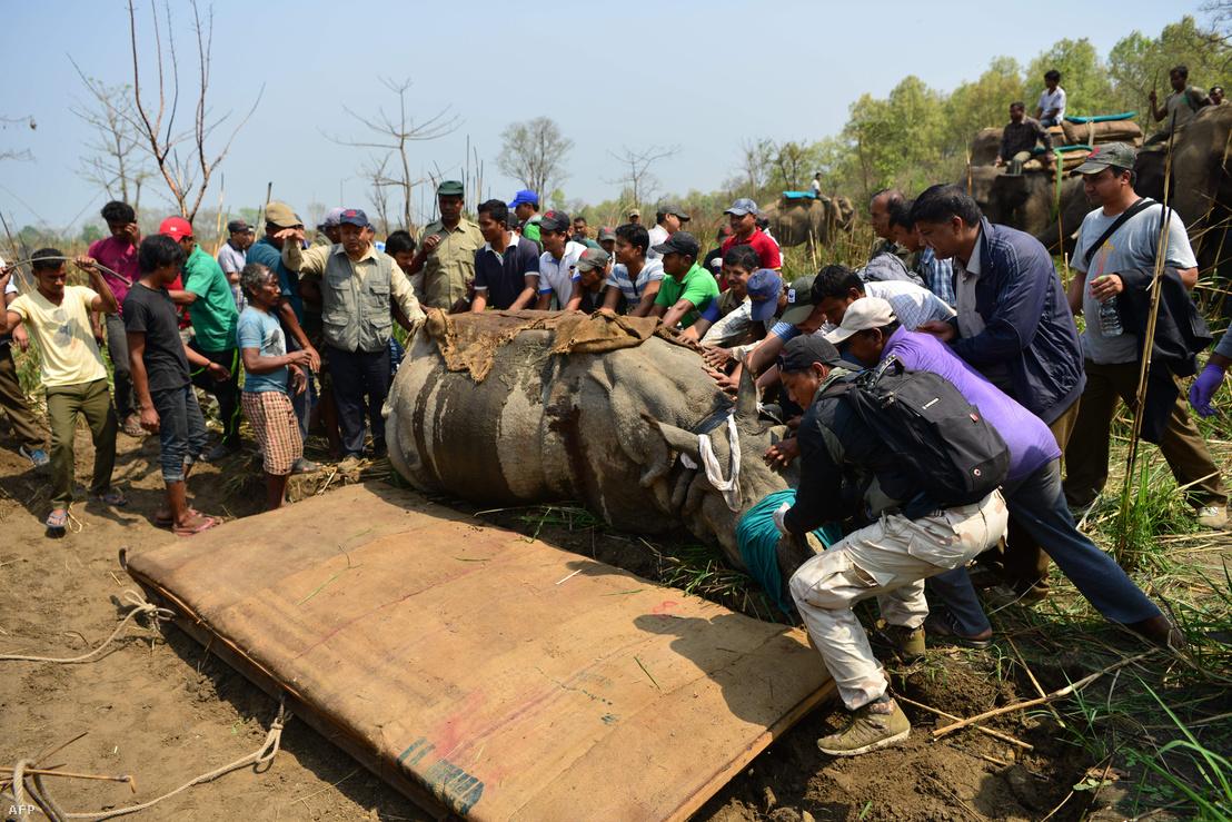 Orrszarvú mentése a nepáli nemzeti parkban 2017. április 3-án.
