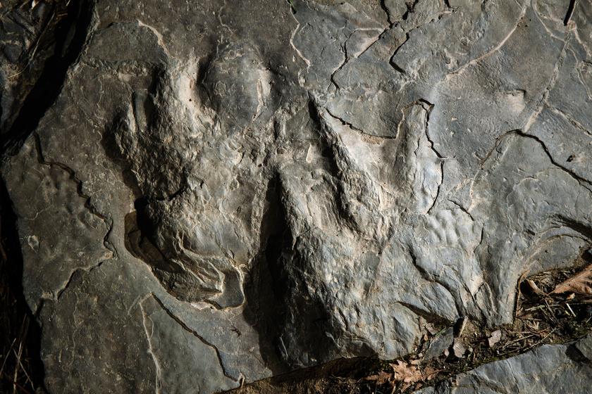 A köveken jól kivehetők a megkövesedett dinoszaurusz-lábnyomok.