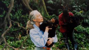 Nobel-díjat Jane Goodallnak!