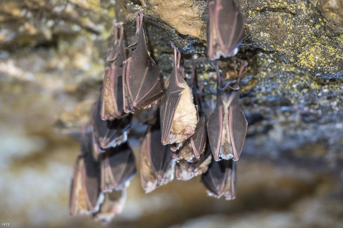 Téli álmot alvó nagy patkósdenevérek (Rhinolophus ferrumequinum) az Abaligeti-barlangban 2018. január 16-án.