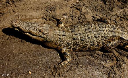 Nem ez a krokodil harapta meg a férfit