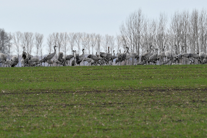 Észak-Afrikából Észak-Európába tartó szürke darvak - Grus grus - egy csoportja a Borsod-Abaúj-Zemplén megyei Nagyhomok felett.