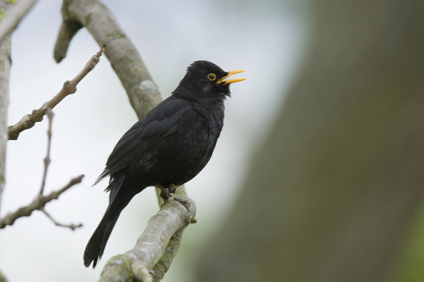 A feketerigók közül a hímek léptek zenei pályára, kora reggel és este trilláznak.