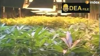 Legalizálhatják a marihuánát Kaliforniában
