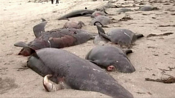Tömeges bálnapusztulás Írországban