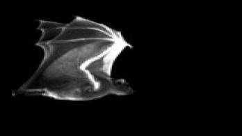 Denevér mozgású szuperrepülő készül