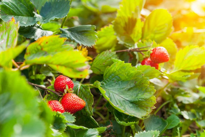 Meggy szívbetegeknek, eper várandósoknak: 8 finom gyümölcs szuper gyógyhatása