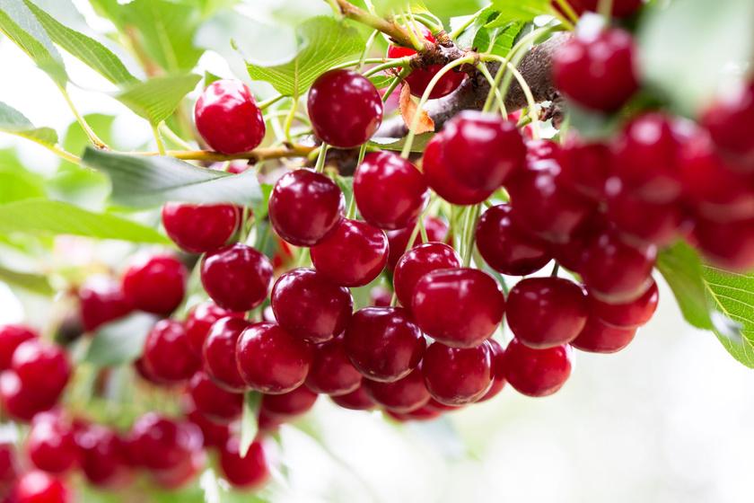 Az Arizonai Egyetem, a Michigani Egyetem és a Brunswick Laboratórium közös kutatásának eredménye rámutatott, hogy már napi két és fél deciliter 100%-os meggylé fogyasztásával megelőzhető a későbbi szívbetegség kialakulása. Még jobb, ha frissen fogyasztod a júniusi gyümölcsöt.