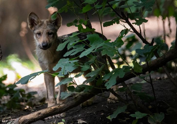 3 hónapos farkaskölyök a mexikói állatkertben 2018. július 10-én