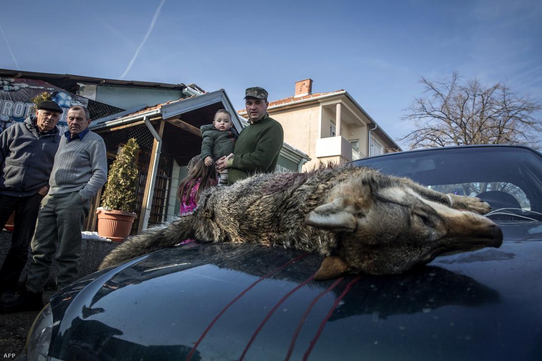 Blace városában levadászott farkas teteme egy autó motorházán 2018. január 27-én. Szerbiában júliustól árpilisig engedélyezett a farkas vadászat.