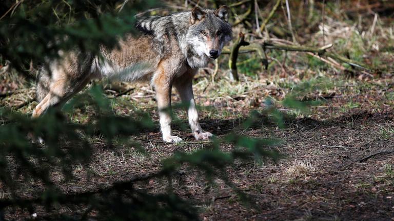 A farkas visszatért