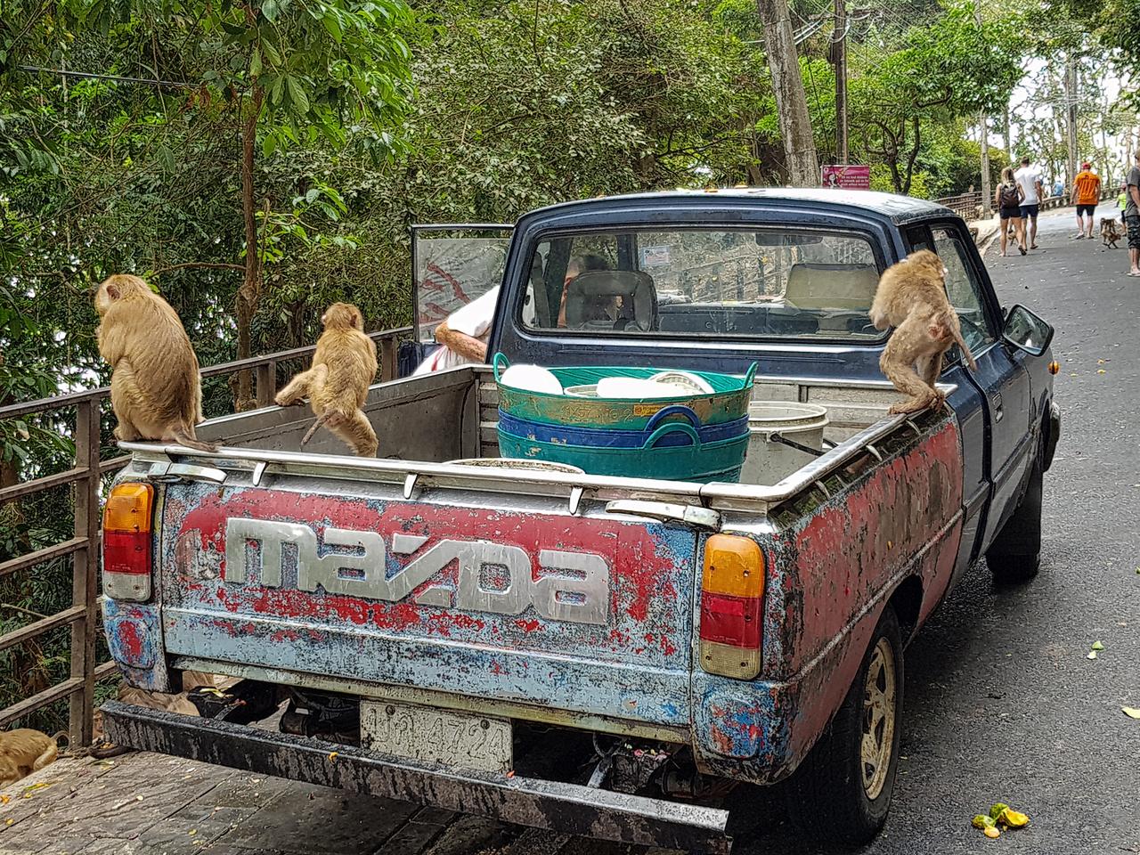 Nem csupán a phuketi Monkey Hillen találkozhatunk majmokkal, sok helyen simán az út szélén szaladgálnak. A sokat látott Mazda pickupot már csak a napi eleségük hegyre cipelésére használják a park alkalmazottai, így legalább a makákók valamivel kevesebbet lopnak a látogatóktól