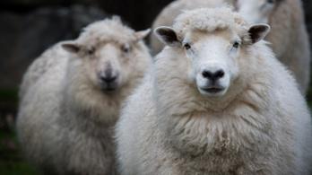 A világ legrégibb, 50 éves spermájával termékenyítettek meg juhokat Ausztráliában