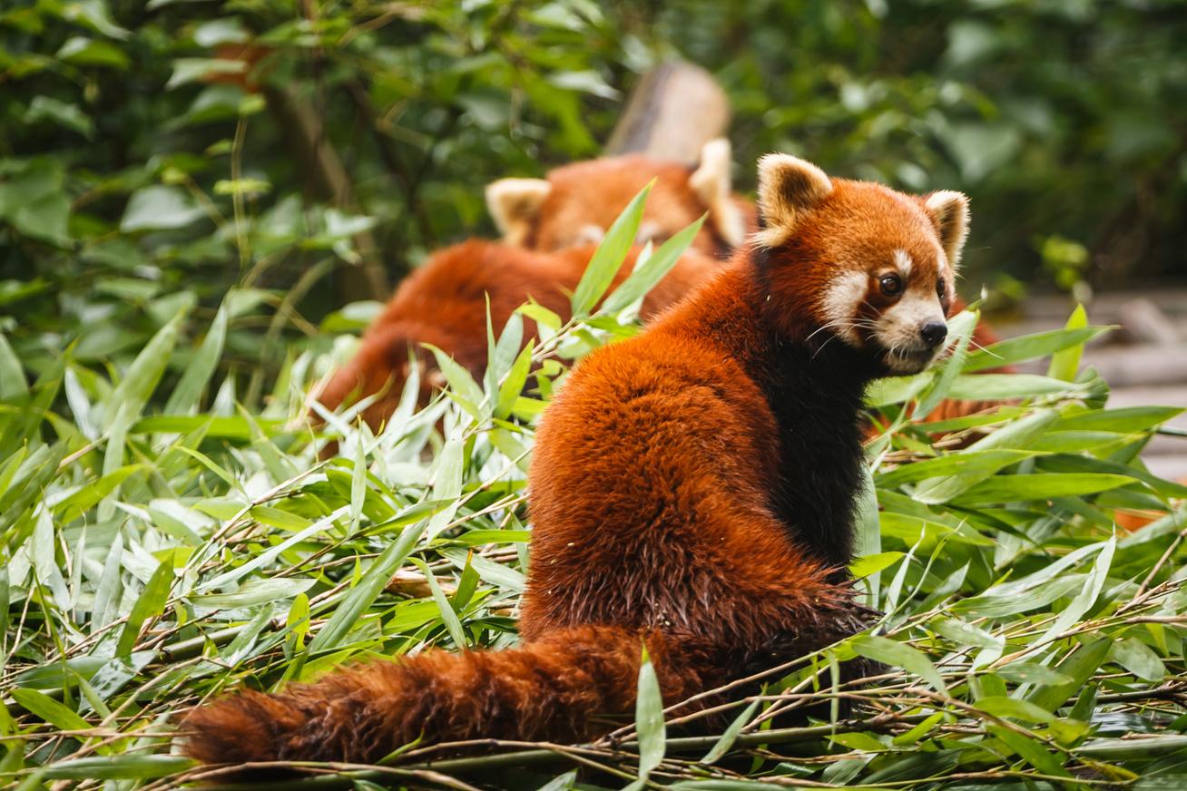 vörös panda macskamedve (1)