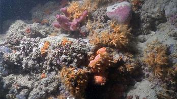 Korallzátonyokat találtak az Adriában