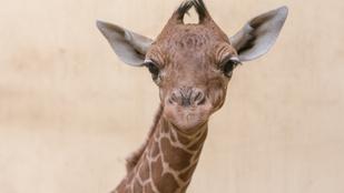 Napi cuki: újszülött zsiráf Debrecenben