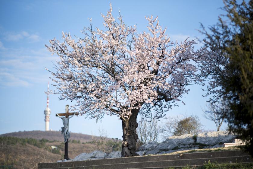 135 éves magyar fa lett Európa kedvence: 15 ország jelöltjét utasította maga mögé