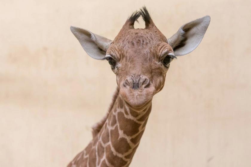Fantasztikus hírek az állatkertből: a ritka zsiráfnak kistestvére született