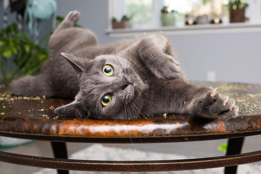 Bármilyen felület kényelmes, ha macskamentával van szórva: jó taktika, ha a cica nem mászik bele új fekhelyébe.