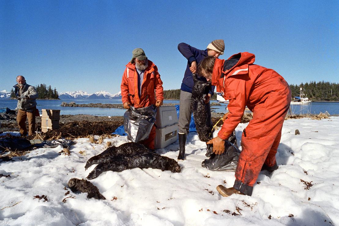 Az olajszennyezés következtében elpusztul tengeri vidrák tetemeit szedik össze helyi lakosok 1989. április 3-án a Vilmos herceg-szoros közelében, Alaszkában