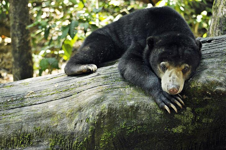 Maláj medve a Borneói Malájmedve-védő Központban
