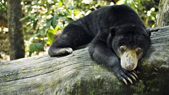 A maláj medvék pofákat vágva kommunikálnak