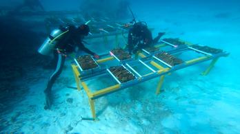 Bébikorallokkal mentik meg a Nagy-korallzátonyt