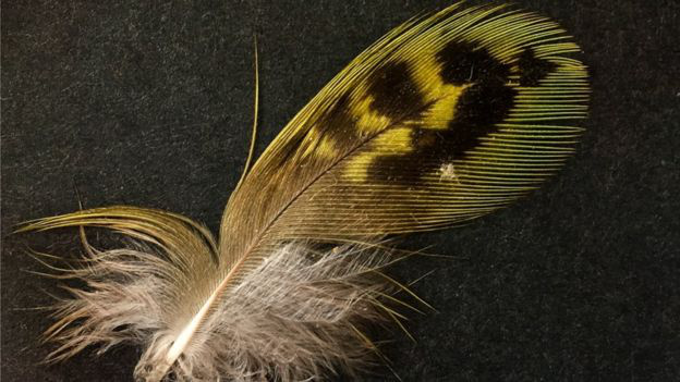 A Young állítása szerint a fészekben talált éjjelipapagáj-toll