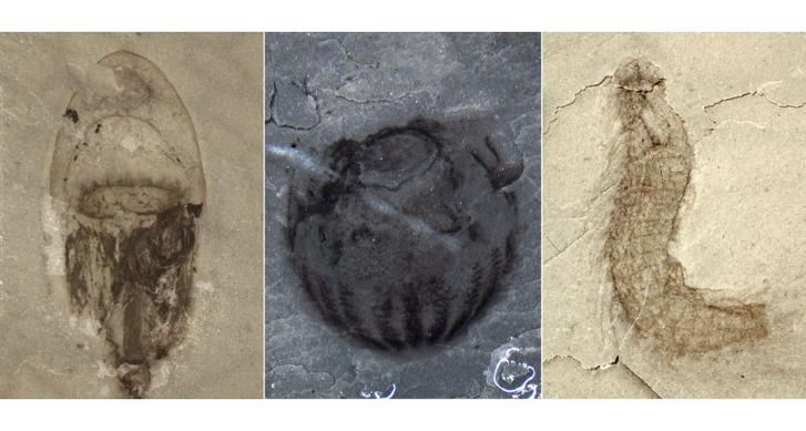 Néhány ősmaradvány a Qingliang-formációból. Balra egy medúza, középen egy fésűs medúza, jobbra pedig egy tüskésférgecske