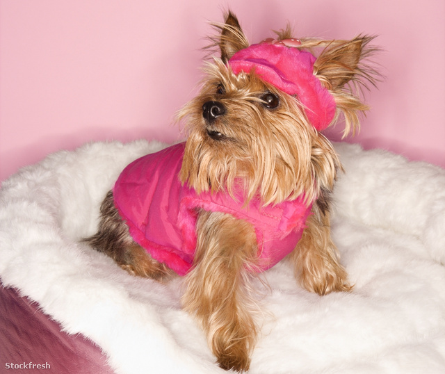 stockfresh 6942 yorkshire-terrier-dog-in-pink-outfit sizeM